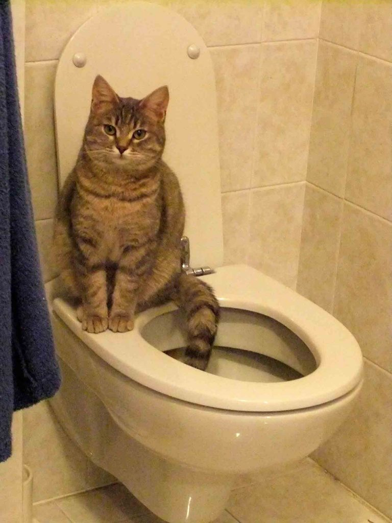 Is Toilet Training Cats The