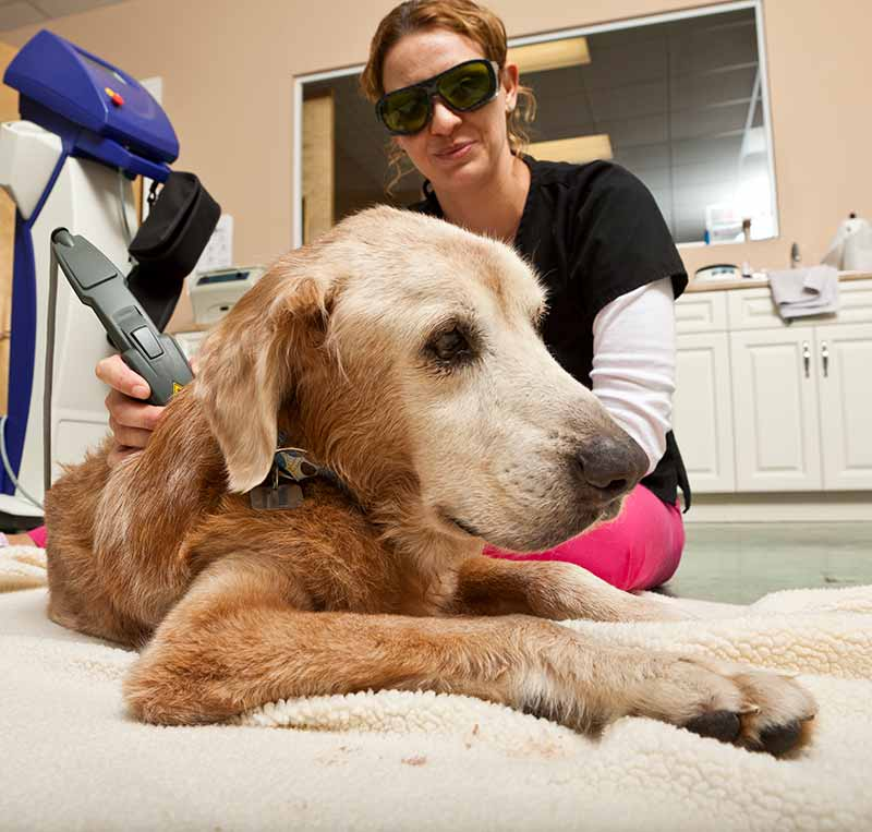 Laser therapy for pets is great for pet pain management