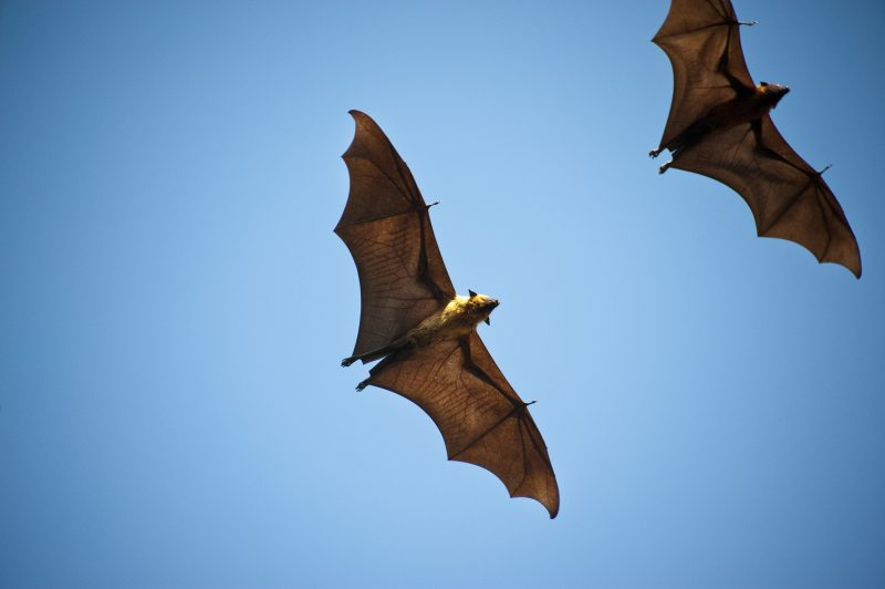 The Indian flying fox