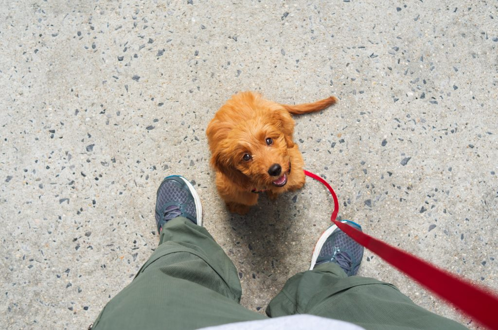 Miniature goldendoodle puppy sitting at the feet of her owner and looking up  waiting for a treat.